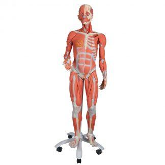 Żeński model mięśniowy