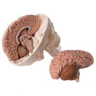 Czaszka z mózgiem
