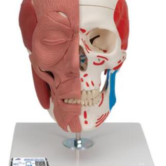 Czaszka z mięśniami twarzy