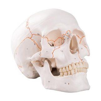 Czaszka z numeracją kości