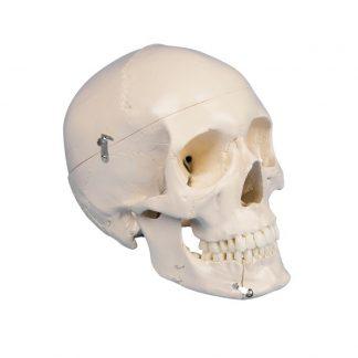 Dentystyczna czaszka