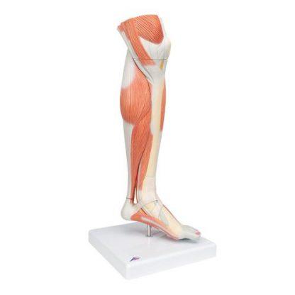 Dolne mięśnie nogi 1