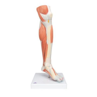 Dolne mięśnie nogi