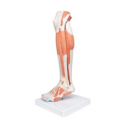 Dolne mięśnie nogi 5