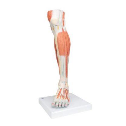 Dolne mięśnie nogi 6