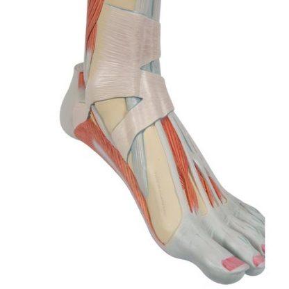 Dolne mięśnie nogi 7