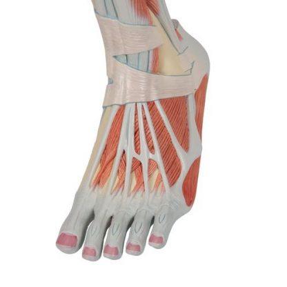 Dolne mięśnie nogi 8