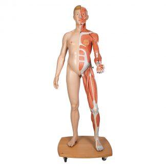 Dwupłciowa figura mięśniowa