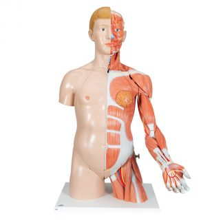 Dwupłciowy tors mięśniowy