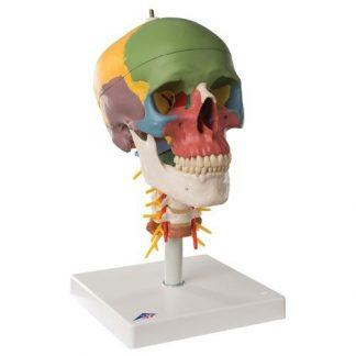 Dydaktyczna czaszka na kręgosłupie szyjnym