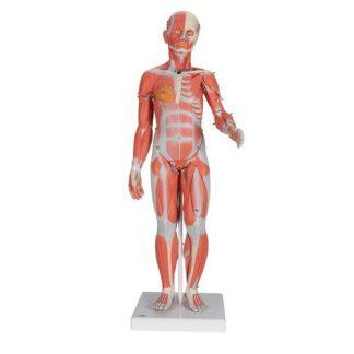 Figura mięśniowa dwupłciowa