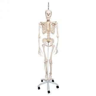 Fizjologiczny Szkielet Phil