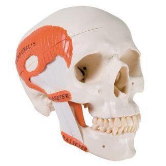 Funkcjonalna czaszka z mięśniami