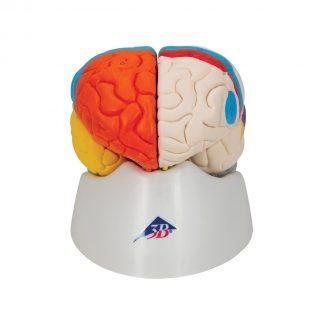 Mózg z tętnicami