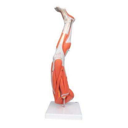 Mięśnie nogi 3