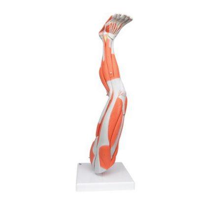 Mięśnie nogi 4