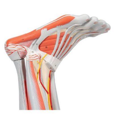 Mięśnie nogi 7