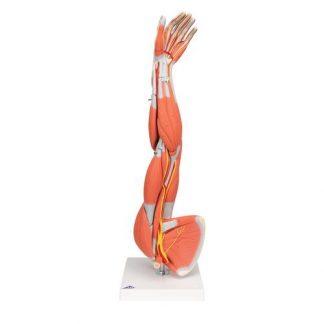 Mięśnie ręki