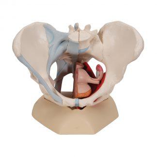 Miednica z więzadłami i mięśniami