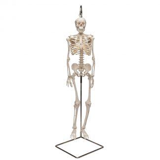 Mini szkielet