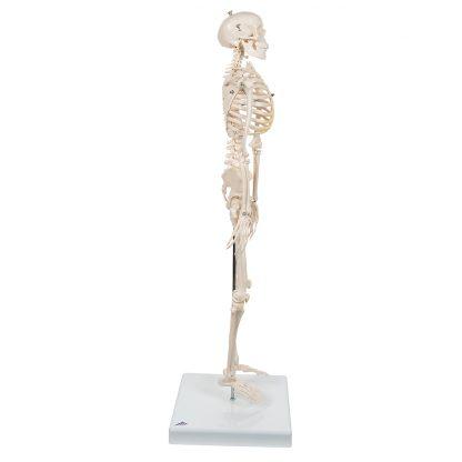 Mini szkielet Shorty 2