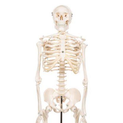 Mini szkielet Shorty 4