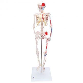 Miniszkielet Shorty z przyczepami