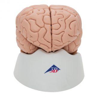 Model mózgu 8 części