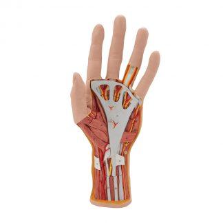 Model ręki