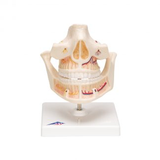 Model uzębienia dorosłego człowieka prezentuje korzenie, nerwy oraz naczynia.