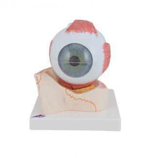 Oko na kostnym podłożu oczodołu