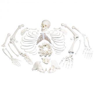 Rozmontowany szkielet