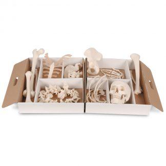 Rozmontowany szkielet połowa