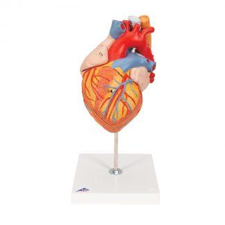 Serce z przełykiem i tchawicą