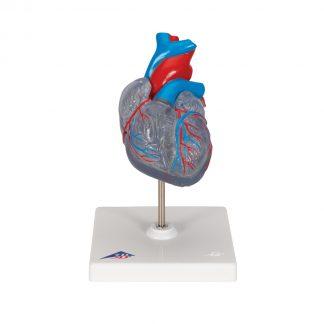 Serce z układem przewodzącym 1