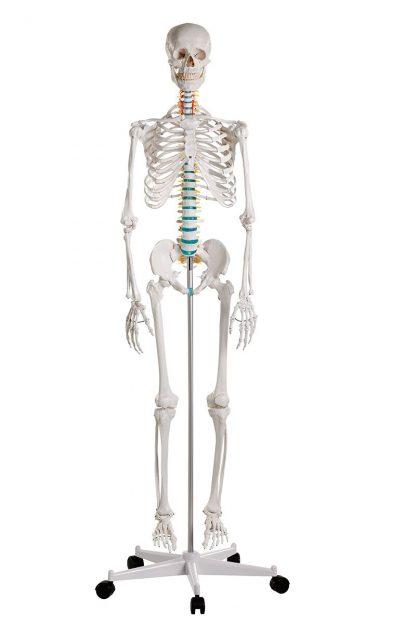 Szkielet Człowieka OSCAR