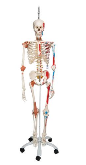 Szkielet luksusowy Sam wiszący na statywie