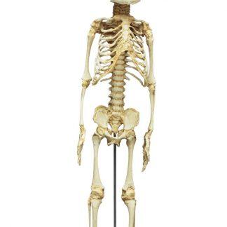 Szkielet płodu 30-tygodniowego
