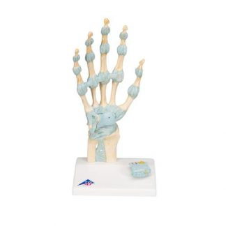 Szkielet ręki z więzadłami