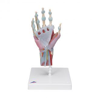 Szkielet ręki z więzadłami i mięśniami