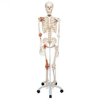 Szkielet z więzadłami