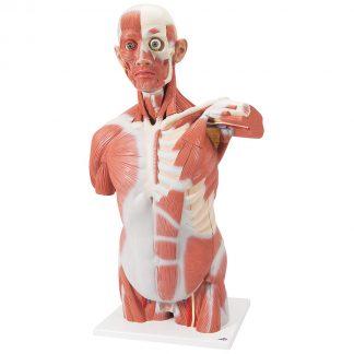 Tors mięśniowy