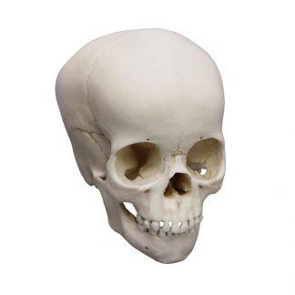 czaszki 4-letniego dziecka.