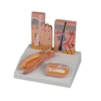 Biurkowy model włosa skóry paznokcia
