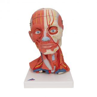 Głowa mięśniowa z szyją