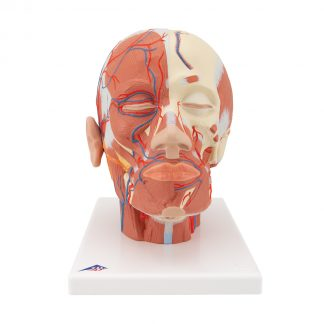 Głowa z układem mięśniowym i naczyniowym