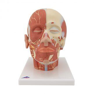 Głowa z układem mięśniowym i nerwowym
