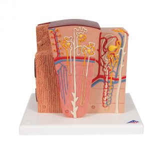 Mikroanatomia nerki