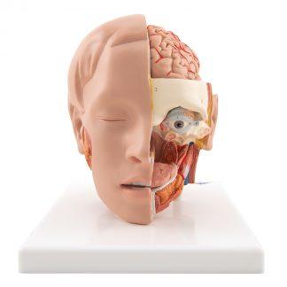 Model głowy na podstawie