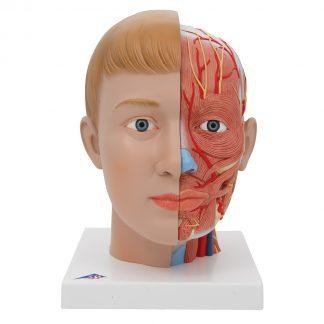 Model głowy z szyją